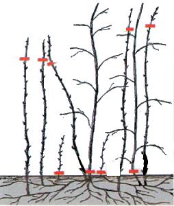 Обрезка малины