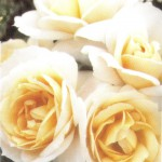 lions_rose