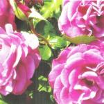 violette_parfume