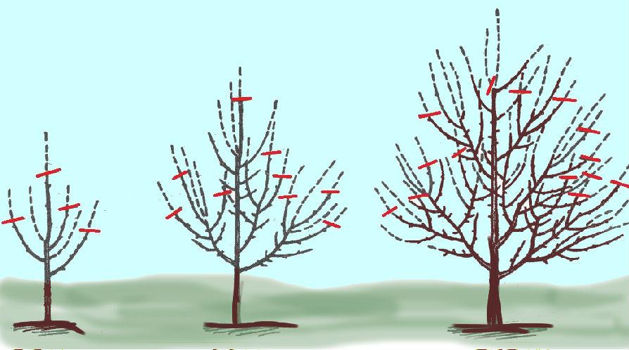 Схема обрезки колоновидной яблони весной